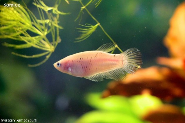 samica-rybicky.net